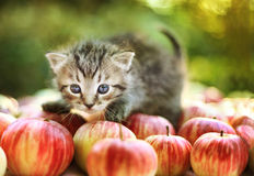 Cute little kitten on apples Royalty Free Stock Photography