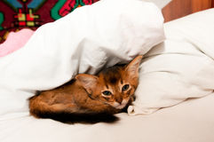 Cute little kitten in bed. Cute little purebred somali kitten in bed lying and looking at camera Royalty Free Stock Image