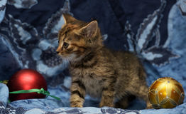 Cute little kitten on a blue background Royalty Free Stock Image