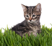 Cute little kitten Royalty Free Stock Images
