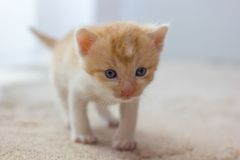 Cute little kitten. Cute creamy white little kitten on a carpet Royalty Free Stock Photos