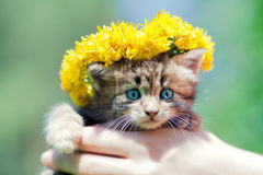 Cute little kitten crowned with a chaplet of dande. Lion in female hands Stock Photos