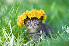 Cute little kitten crowned with a chaplet of dandelion. Walking on the grass Royalty Free Stock Photo