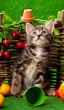 Cute little kitten. Sitting on the bright artificial grass over decorative wattle fence background Royalty Free Stock Photo