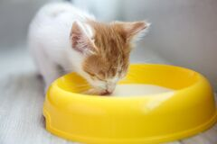 Free Cute Little Kitten Drinking Milk From Bowl, Closeup. Baby Animal Stock Photos - 191809903