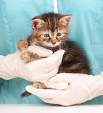 Cute little kitten. In hands at the veterinarian over light-blue background Stock Images