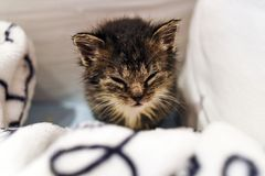 A cute little kitten lying in a blanket at home. Royalty Free Stock Images
