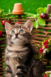 Cute little kitten. Near decorative wattle fence over the bright grass background Stock Images