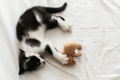 Cute little kitten playing with little teddy bear toy on white b. Ed sheets in stylish room. top view. adorable black and white kitty with funny emotions playing royalty free stock photo