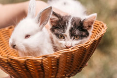 Cute little kitten and rabbit. Cute kitten with spotty fluffy fur and little white rabbit bunny domestic animals in wicker bowl with female hand on natural blur Stock Image