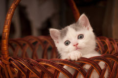 Cute little kitten. Scottish streight portrait inside basket Royalty Free Stock Photo