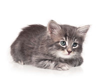 Cute little kitten. Serious cute kitten isolated on white background cutout Stock Images
