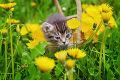 Cute little kitten sitting in a basket on the beautiful flower meadow Stock Photos