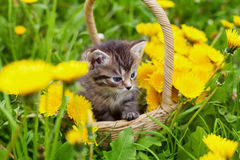 Cute little kitten sitting in a basket on the beautiful flower meadow Royalty Free Stock Photography