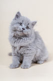 Cute little kitten is sitting on a gray background Stock Photos