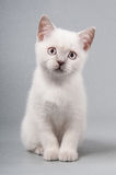 Cute little kitten is sitting on a gray background Royalty Free Stock Photo