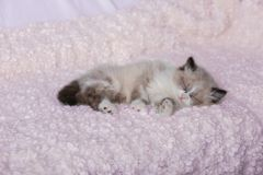 Cute little kitten sleeping on white plaid. At home stock image