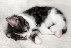 Cute little kitten sleeps on fur white blanket stock photo
