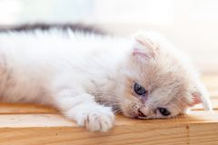 Cute little kitten sleeps on table ,White baby cat with eye blue. Cute little kitten sleeps table White baby cat with eye blue royalty free stock photo