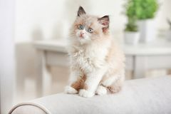 Cute little kitten on sofa. At home royalty free stock photo