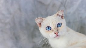 Cute little kitten on table ,White baby cat with eye blue. Cute little kitten sleeps table White baby cat with eye blue stock photo