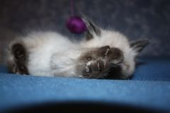 Cute little kitten with thread ball royalty free stock photography