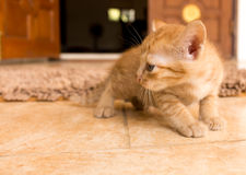Cute little kitten. Cute little kitten on tile floor Royalty Free Stock Photo