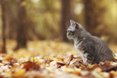 Cute little kitten in yellow leaves Royalty Free Stock Photo