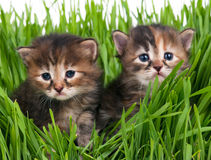 Cute little kittens Royalty Free Stock Photo