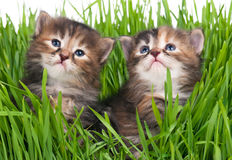 Cute little kittens Royalty Free Stock Images