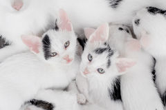 Free Cute Little Kittens Looking At Camera Stock Photography - 56978942