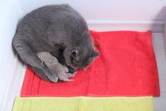 Cute little kittens and mom cat on a towel. British Shorthair new borns sitting near his mother on a towel Stock Images