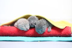 Cute little kittens on a towel, first day of life Stock Images