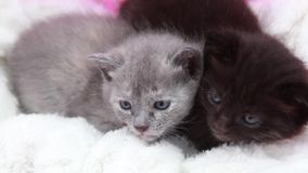 Cute little kittens. Two cute little kitten sitting close to each other on a white rug stock footage