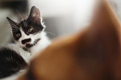 Cute little kitty with amazing eyes and big golden dog looking a. T him in stylish room. adorable black and white kitten and puppy with funny emotions together stock image