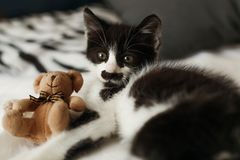 Cute little kitty with amazing eyes playing with little teddy t. Oy on white sheets in stylish room in morning light. adorable black and white kitten with funny royalty free stock photography