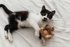 Cute little kitty with amazing eyes playing with little teddy to. Y on white bed sheets in stylish room in morning light. adorable black and white kitten with royalty free stock images