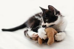 Cute little kitty with amazing eyes playing with little teddy to. Y on white bed sheets in stylish room in morning light. adorable black and white kitten with stock photography