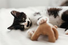 Cute little kitty with amazing eyes playing with little teddy to. Y on white bed sheets in stylish room in morning light. adorable black and white kitten with stock images