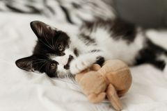 Cute little kitty with amazing eyes playing with little teddy t. Oy on white sheets in stylish room in morning light. adorable black and white kitten with funny stock images