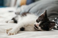 Cute little kitty with amazing eyes sleeping on pillows in morning light. adorable black and white kitten with funny emotions. Playing on blanket. cozy home royalty free stock photos