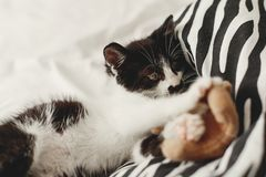 Cute little kitty playing with little teddy bear toy on white be. D sheets in stylish room in morning light. adorable black and white kitten with funny emotions stock photo