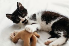 Cute little kitty playing with little teddy bear toy on white be. D sheets in stylish room in morning light. adorable black and white kitty with funny emotions royalty free stock images