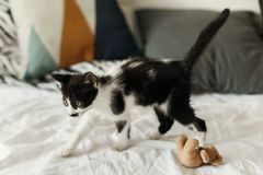 Cute little kitty playing with little teddy toy near stylish pillows on white bed sheets in morning light. adorable black and. White kitten with funny emotions stock photography