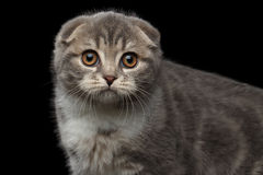 Cute little kitty scottish fold breed on isolated black background Stock Image