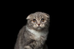 Cute little kitty scottish fold breed on isolated black background Royalty Free Stock Photography