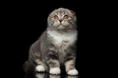 Cute little kitty scottish fold breed on isolated black background Royalty Free Stock Photos