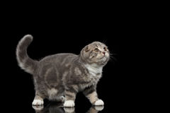 Cute little kitty scottish fold breed on isolated black background Stock Photos