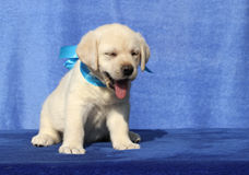 Cute little labrador puppy on a blue background Royalty Free Stock Images