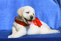 The cute little labrador puppy on a blue background Royalty Free Stock Photography